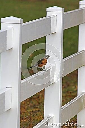 Free Robin & White Fence Royalty Free Stock Image - 440156