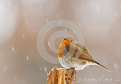 Robin in winter snow in Bavaria