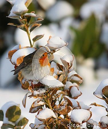 Robin in winter time