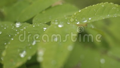 Rocío en las hojas almacen de metraje de vídeo