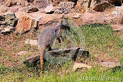 Roca-Wallaby Amarillo-Alzado - xanthopus del Petrogale