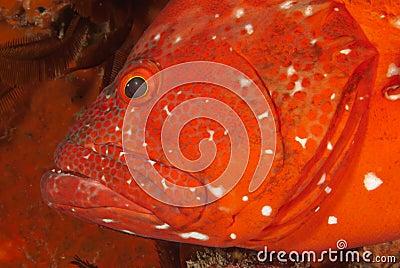 Rock cod profile