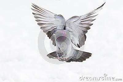 Rock dove in flight
