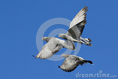 Rock doves in flight