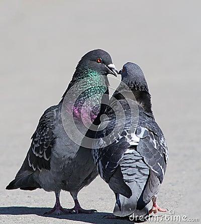 Rock doves in love