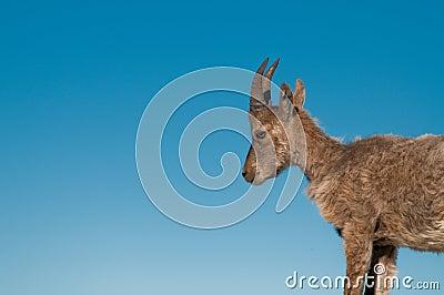 Rock goat cub