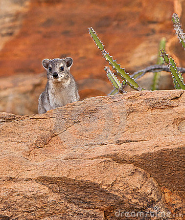The Rock Hyrax