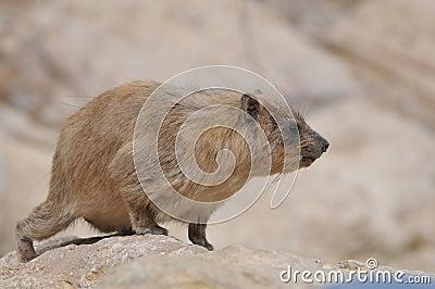 The Rock Hyrax