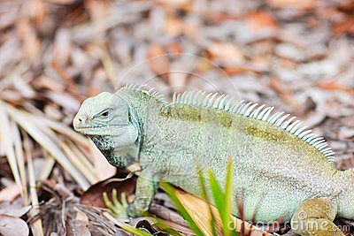 Rock iguana at Little Water Cay