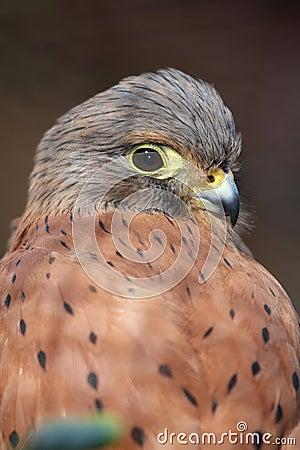 Free Rock Kestrel Bird Royalty Free Stock Photo - 10135315