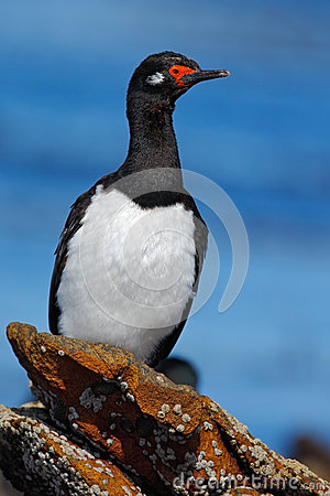 Free Rock Shag, Phalacrocorax Magellanicus, Black And White Cormorant With Red Bill Siting On The Stone, Falkland Islands Royalty Free Stock Image - 67952976