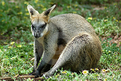 Rock Wallaby Sitting