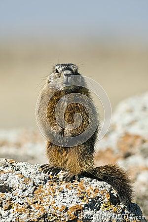 Rockchuck  (Marmota caligata)