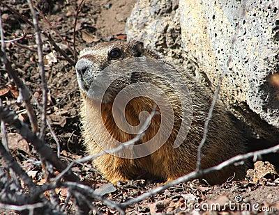 Rockchuck (Yellow-bellied Marmot)