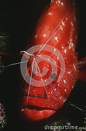 Rockcod del tomate del Océano Índico de Mozambique (sonnerati de Cephalophlis) que es limpiado por un primer más limpio del camaró