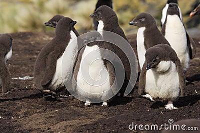 Rockhopper Penguin Chicks