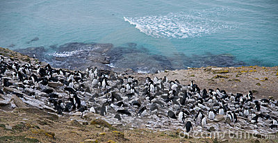 Rockhopper Penguin Colony - Falklands