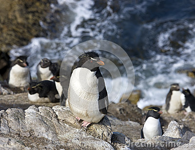 Rockhopper Penguins on Pebble Island in The Falkland Islands