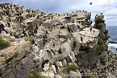 Rockhopper Penguins - Pebble Island - Falkland Islands