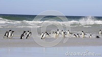 Rockhopper pingwin w Falkland wyspach zbiory