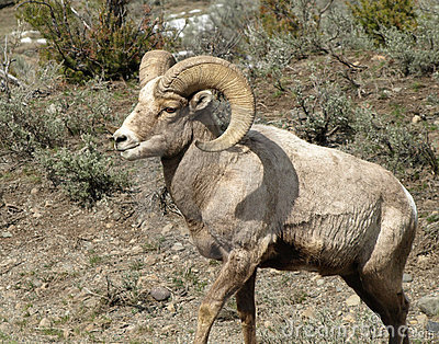 Rocky Mountain Big Horn Sheep/Ram