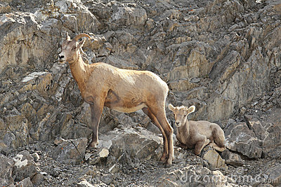 Rocky Mountain Bighorn Sheep - Ewe and Lamb