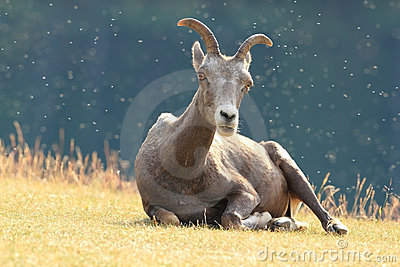 Rocky Mountain Bighorn Sheep Lying in a Meadow - J