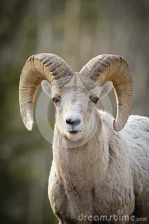 Free Rocky Mountain Bighorn Sheep (Ovis Canadensis) Stock Image - 41827091