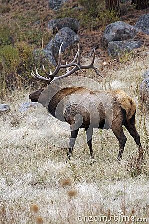 Free Rocky Mountain Elk Royalty Free Stock Photo - 13061925