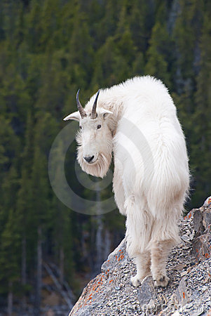 Free Rocky Mountain Goat, Canadian Rockies, Alberta Royalty Free Stock Photos - 23893178