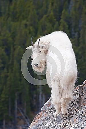 Free Rocky Mountain Goat, Canadian Rockies, Alberta Royalty Free Stock Photos - 23893178