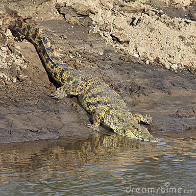 Сrocodile down to the river