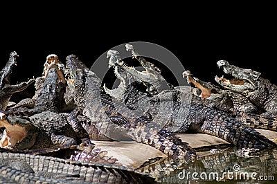 Сrocodiles