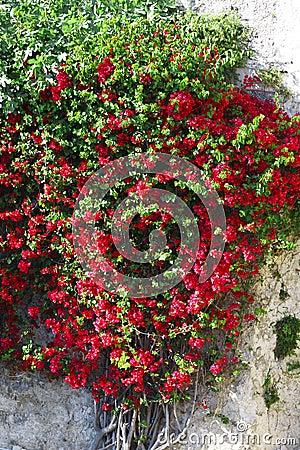 Klimplant rode bloemen