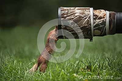 Rode Eekhoorn.
