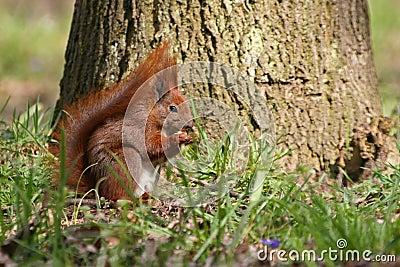 Rode eekhoorn op het gras