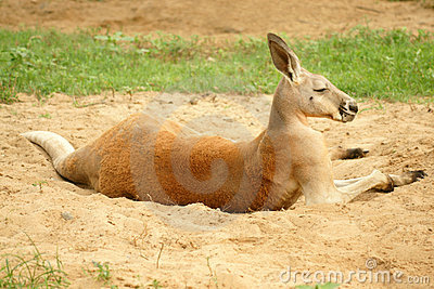 Rode Kangoeroe (rufus Macropus)