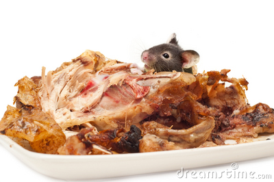 Rodent eating cooked chicken