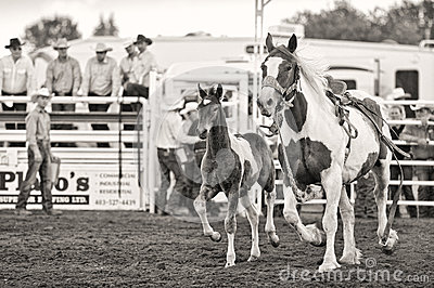 Rodeo Horse With Foal Editorial Photo