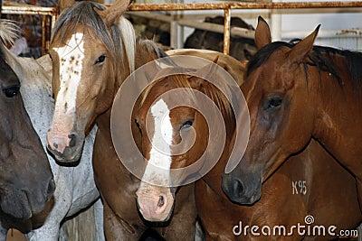 Rodeo Stock Horses