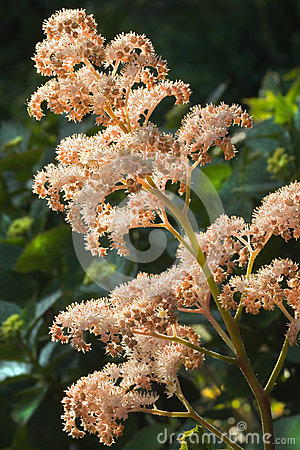 Rodgersia aesculifolia flowers