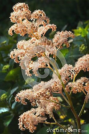 Rodgersia aesculifolia flowers