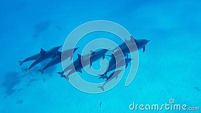 Rodzina delfiny pływa w jasnej wodzie Czerwony morze w Egipt zdjęcie wideo