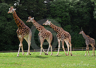Rodzinne żyrafy