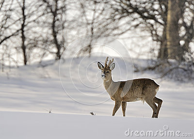 Roe buck in winter