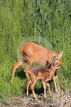 Roe-deer with baby