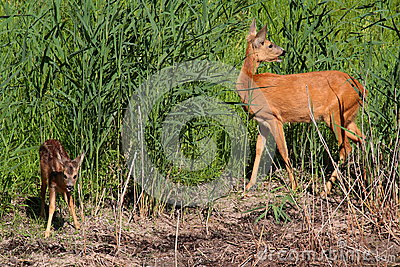 Roe-deer with baby