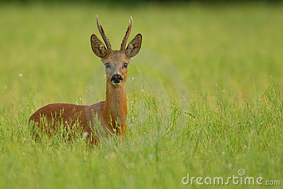 Roe deer buck in buckwheat