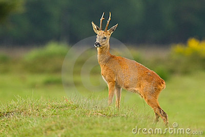 Roe deer buck looking proud