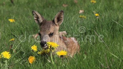 Roe Deer, capreolus del capreolus, Fawn Laying in prato con i fiori gialli, Normandia in Francia, video d archivio